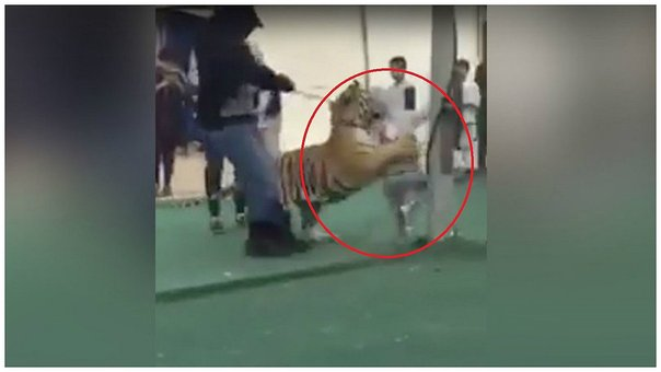 YouTube: niña fue atacada por tigre en mercado de Arabia Saudita (VIDEO)