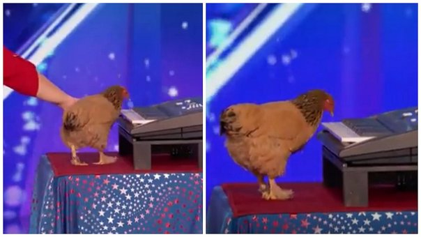 YouTube: Gallina es viral por tocar el piano con su pico (VIDEO)