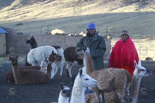 Caylloma: Mortandad de alpacas por el descenso de temperatura (Fotos)