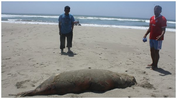 Chiclayo: Hallan especies marinas varadas en playa de Lagunas (VIDEO)