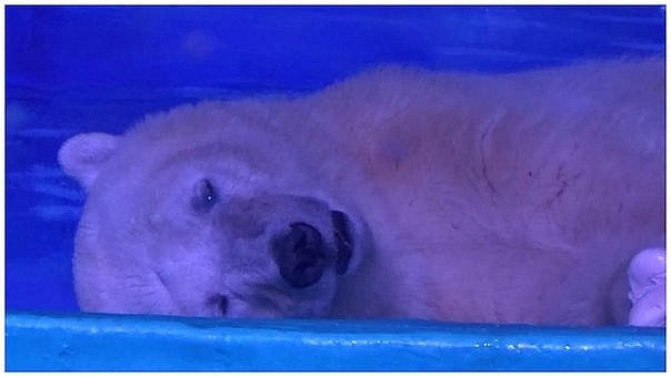 "China: ¿por fin el ""oso polar triste del mundo"" tendrá un final feliz? (VIDEO)"