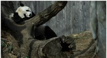Bao Bao: panda gigante regresa a China, la tierra de sus ancestros (VIDEO)