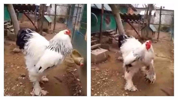 ¡Impactante! Conoce al gallo gigante que atemoriza a Internet [VIDEO]