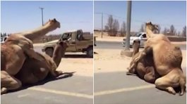 Dos camellos sorprendieron al aparearse en plena carretera (VIDEO)
