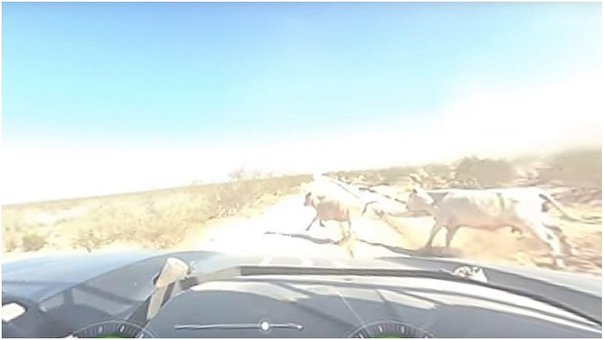 Auto atropella a dos vacas que cruzaron intempestivamente la pista (VIDEO)