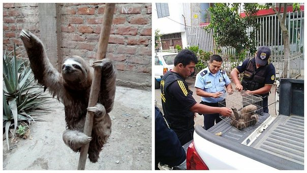 Oso perezoso es encontrado en patio de una vivienda (VIDEO)
