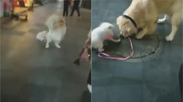 "Un golden retriever se ""robó"" a un cachorro y lo llevó a pasear (VIDEO)"