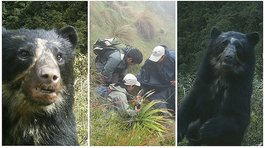 Facebook: Graban a oso de anteojos paseando por Machu Picchu (VIDEO)