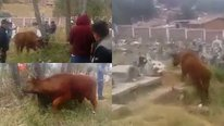 Toro causa destrozos en mercado y cementerio de Huamachuco (VIDEO)